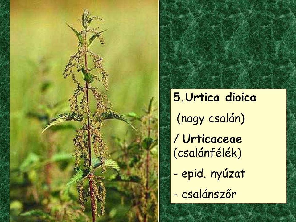 5.Urtica dioica (nagy csalán) / Urticaceae (csalánfélék) - epid. nyúzat - csalánszőr