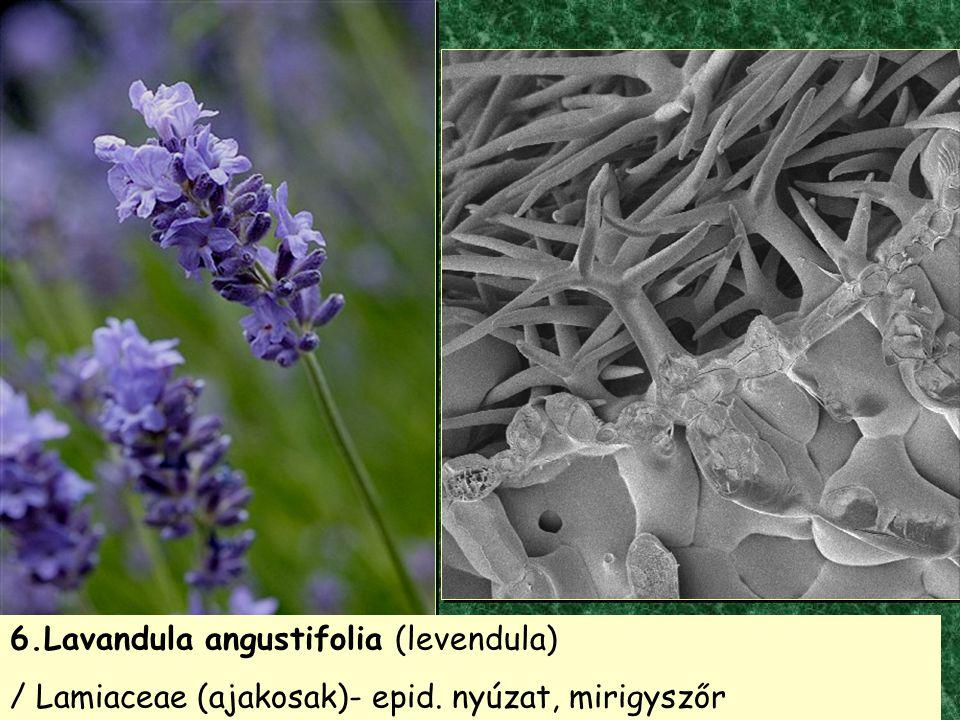 6.Lavandula angustifolia (levendula) / Lamiaceae (ajakosak)- epid. nyúzat, mirigyszőr