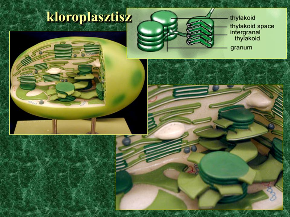  fotoszintetizáló plasztiszok kloroplasztisz kloroplasztisz (zöldmoszatok, mohák, harasztok, nyitva- és zárvatermők) (zöldmoszatok, mohák, harasztok, nyitva- és zárvatermők) rodoplaszt (vörösmoszatok) rodoplaszt (vörösmoszatok) feoplaszt (sárga-, sárgászöld-, barna- és kovamoszatok) feoplaszt (sárga-, sárgászöld-, barna- és kovamoszatok)  nem fotoszintetizáló, pigmenteket tartalmazó plasztiszok plasztiszok kromoplasztisz kromoplasztisz  fotoszintetizáló plasztiszok kloroplasztisz kloroplasztisz (zöldmoszatok, mohák, harasztok, nyitva- és zárvatermők) (zöldmoszatok, mohák, harasztok, nyitva- és zárvatermők) rodoplaszt (vörösmoszatok) rodoplaszt (vörösmoszatok) feoplaszt (sárga-, sárgászöld-, barna- és kovamoszatok) feoplaszt (sárga-, sárgászöld-, barna- és kovamoszatok)  nem fotoszintetizáló, pigmenteket tartalmazó plasztiszok plasztiszok kromoplasztisz kromoplasztisz
