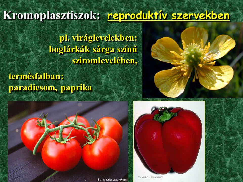 CSALÁNSZŐR (Urtica dioica – nagy csalán / Urticaceae –csalánfélék)