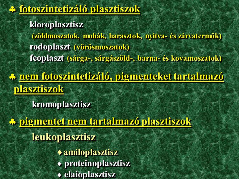 Paeonia officinalis (kerti bazsarózsa) / Paeoniaceae (bazsarózsafélék) anomocitikus