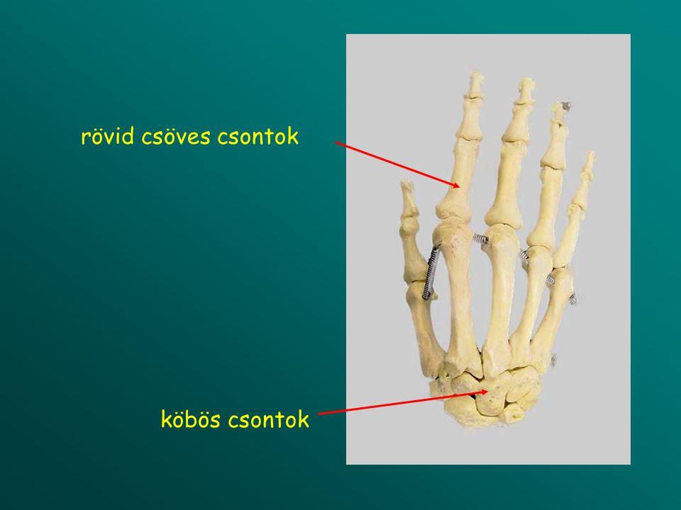 epiphysis proximalis epiphysis distalis diaphysis hosszú csöves csont (humerus)