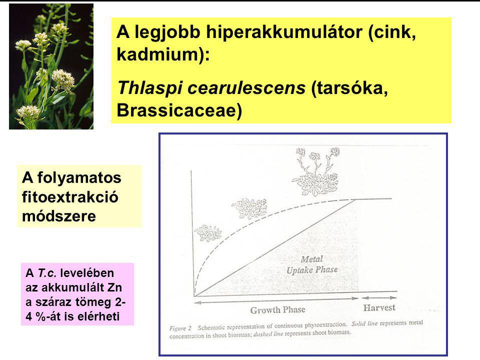A legjobb hiperakkumulátor (cink, kadmium): Thlaspi cearulescens (tarsóka, Brassicaceae) A folyamatos fitoextrakció módszere A T.c. levelében az akkum