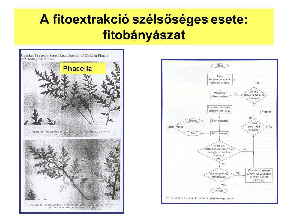 A fitoextrakció szélsőséges esete: fitobányászat Phacelia