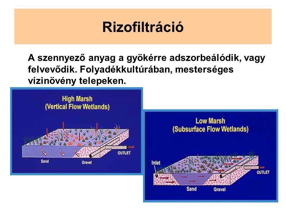 Rizofiltráció A szennyező anyag a gyökérre adszorbeálódik, vagy felvevődik. Folyadékkultúrában, mesterséges vízinövény telepeken.