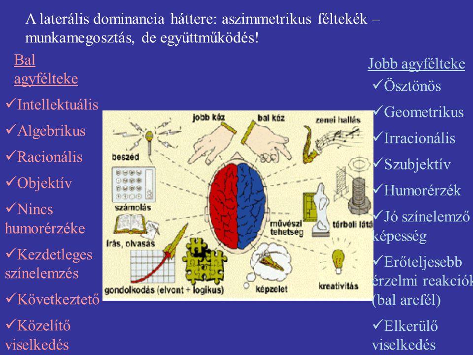 A laterális dominancia háttere: aszimmetrikus féltekék – munkamegosztás, de együttműködés! Intellektuális Algebrikus Racionális Objektív Nincs humorér