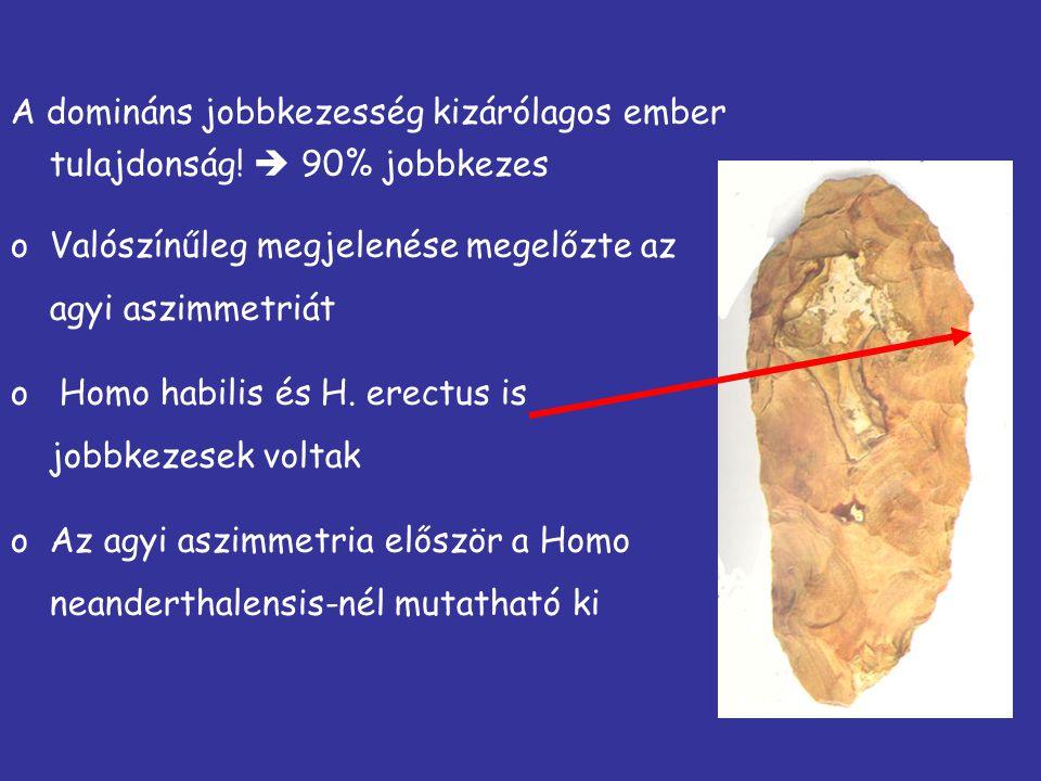 A domináns jobbkezesség kizárólagos ember tulajdonság!  90% jobbkezes oValószínűleg megjelenése megelőzte az agyi aszimmetriát o Homo habilis és H. e