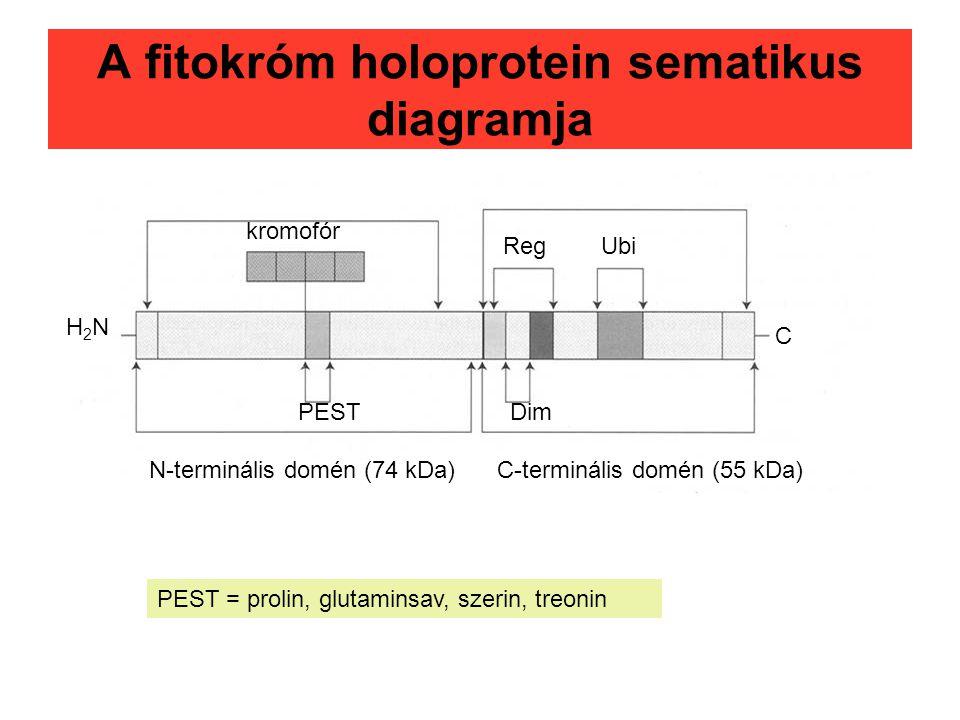 A fitokróm holoprotein sematikus diagramja PEST kromofór RegUbi Dim N-terminális domén (74 kDa)C-terminális domén (55 kDa) C H2NH2N PEST = prolin, glu