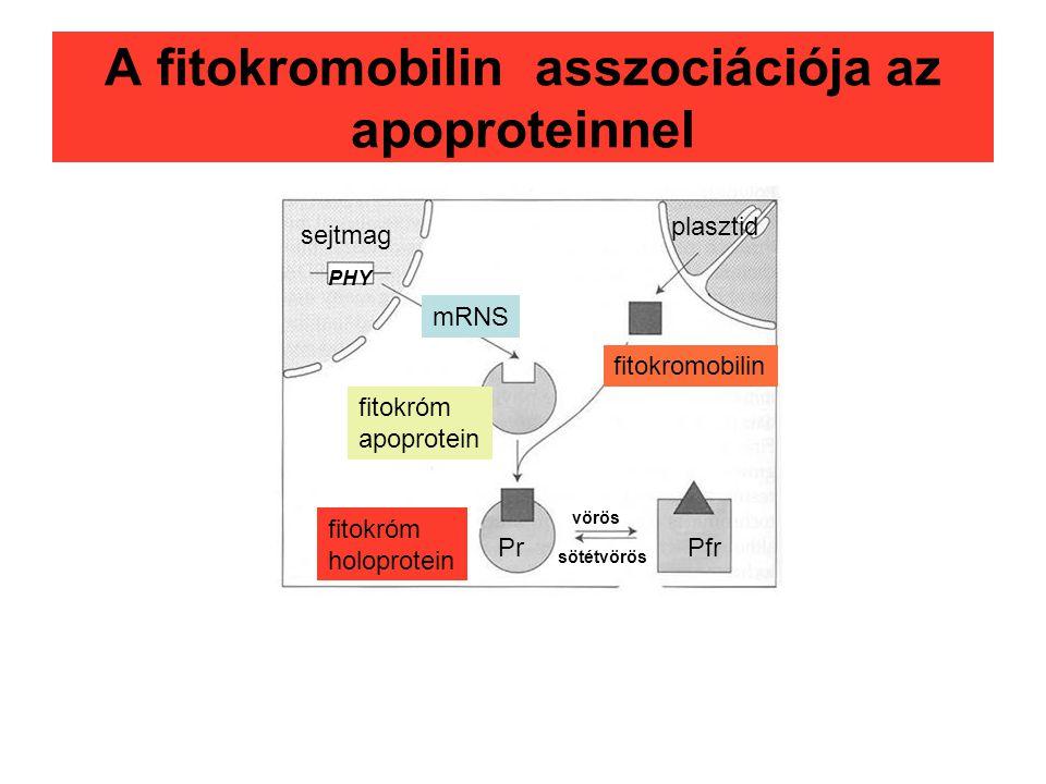 A fitokromobilin asszociációja az apoproteinnel sejtmag plasztid fitokromobilin mRNS fitokróm apoprotein fitokróm holoprotein Pfr vörös sötétvörös Pr