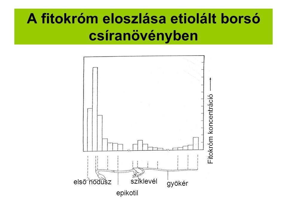 A fitokróm eloszlása etiolált borsó csíranövényben első nódusz epikotil sziklevél gyökér Fitokróm koncentráció