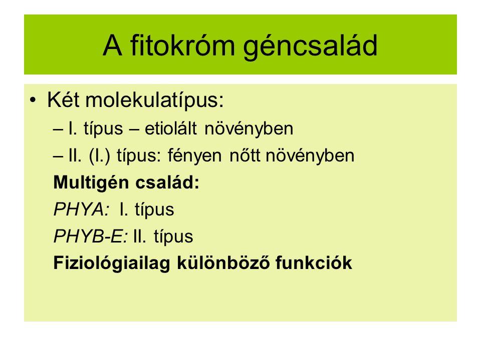 A fitokróm géncsalád Két molekulatípus: –I. típus – etiolált növényben –II. (I.) típus: fényen nőtt növényben Multigén család: PHYA: I. típus PHYB-E: