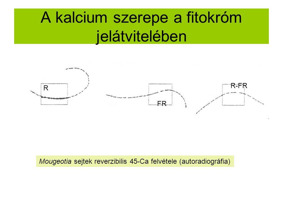 A kalcium szerepe a fitokróm jelátvitelében R FR R-FR Mougeotia sejtek reverzibilis 45-Ca felvétele (autoradiográfia)