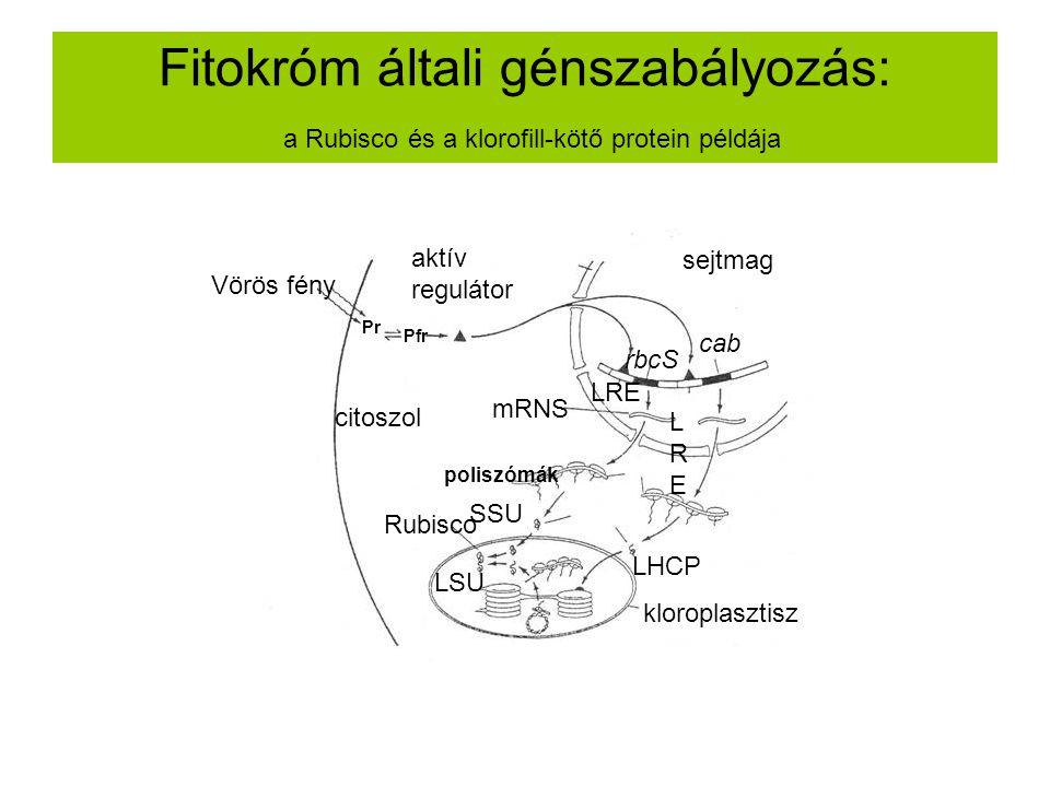 Fitokróm általi génszabályozás: a Rubisco és a klorofill-kötő protein példája Vörös fény Pr Pfr rbcS cab LRE LRELRE mRNS poliszómák SSU LHCP LSU Rubis