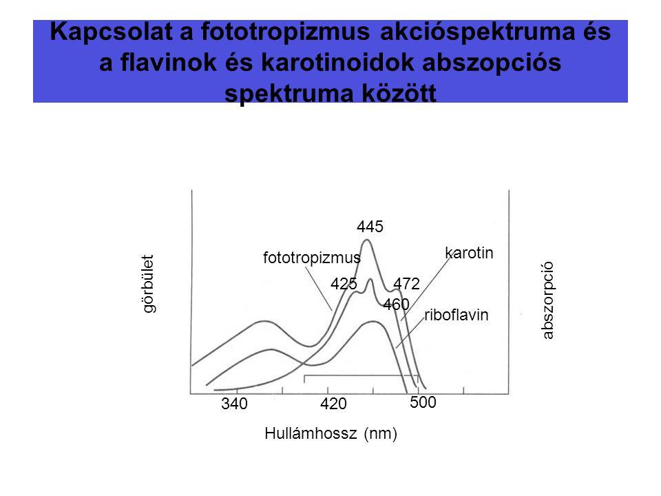 Kapcsolat a fototropizmus akcióspektruma és a flavinok és karotinoidok abszopciós spektruma között fototropizmus karotin riboflavin 445 472425 460 Hul