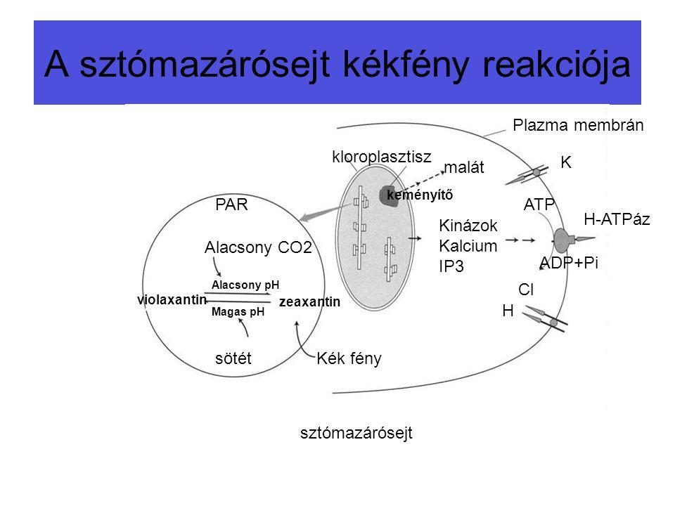 A sztómazárósejt kékfény reakciója Kék fény zeaxantin violaxantin Alacsony CO2 PAR H-ATPáz Kinázok Kalcium IP3 malát H Cl ATP ADP+Pi K sztómazárósejt