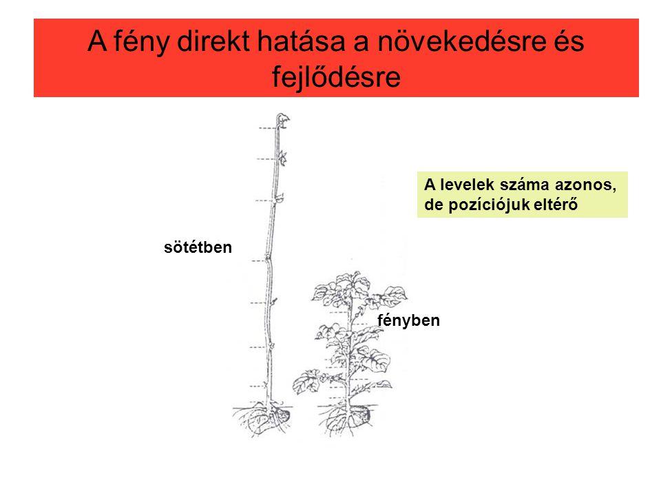 2.2 A fény direkt hatása a növekedésre és fejlődésre sötétben fényben A levelek száma azonos, de pozíciójuk eltérő