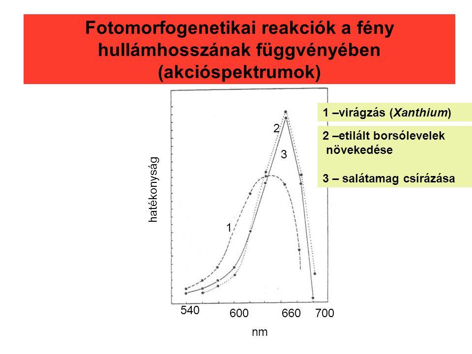 Fotomorfogenetikai reakciók a fény hullámhosszának függvényében (akcióspektrumok) 540 600660700 nm hatékonyság 1 2 3 1 –virágzás (Xanthium) 2 –etilált