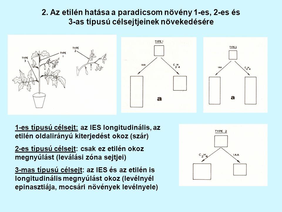 2. Az etilén hatása a paradicsom növény 1-es, 2-es és 3-as típusú célsejtjeinek növekedésére 1-es típusú célsejt: az IES longitudinális, az etilén old
