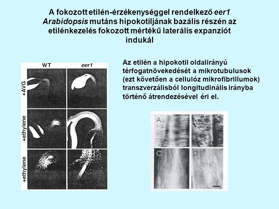 A fokozott etilén-érzékenységgel rendelkező eer1 Arabidopsis mutáns hipokotiljának bazális részén az etilénkezelés fokozott mértékű laterális expanziót indukál Az etilén a hipokotil oldalirányú térfogatnövekedését a mikrotubulusok (ezt követően a cellulóz mikrofibrillumok) transzverzálisból longitudinális irányba történő átrendezésével éri el.