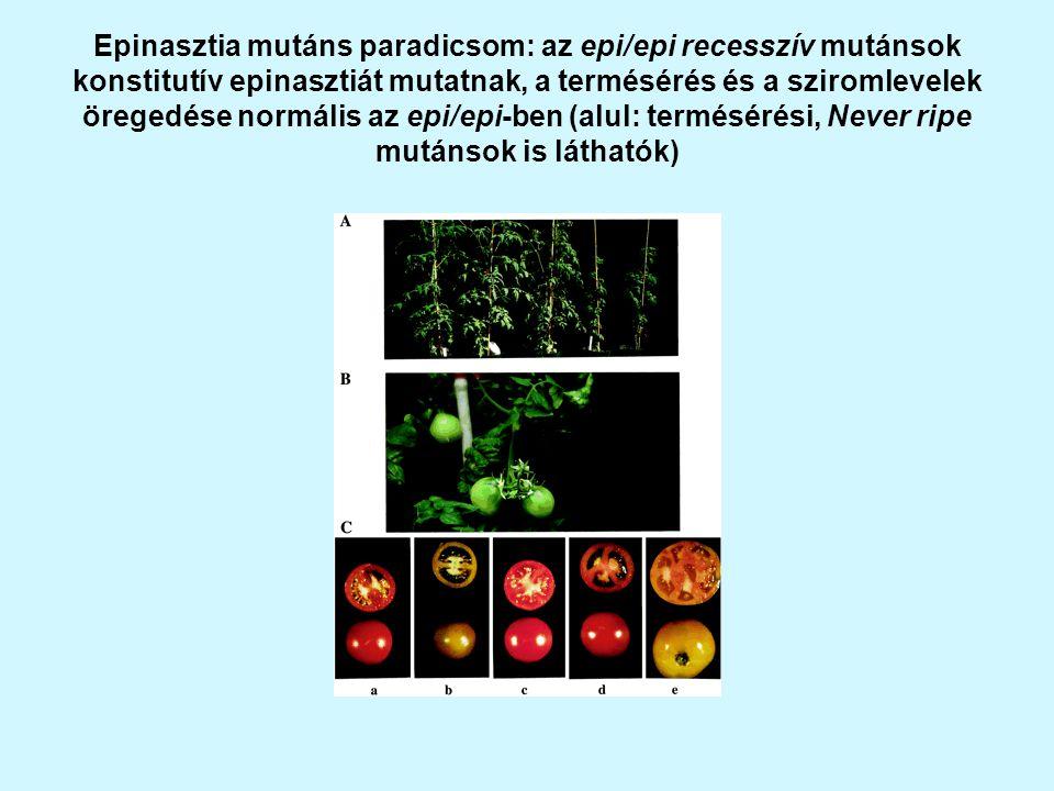 Epinasztia mutáns paradicsom: az epi/epi recesszív mutánsok konstitutív epinasztiát mutatnak, a termésérés és a sziromlevelek öregedése normális az epi/epi-ben (alul: termésérési, Never ripe mutánsok is láthatók)