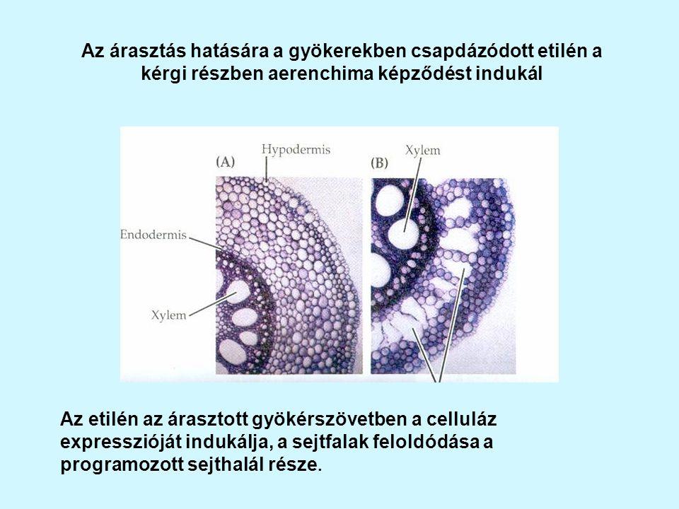 Az árasztás hatására a gyökerekben csapdázódott etilén a kérgi részben aerenchima képződést indukál Az etilén az árasztott gyökérszövetben a celluláz expresszióját indukálja, a sejtfalak feloldódása a programozott sejthalál része.