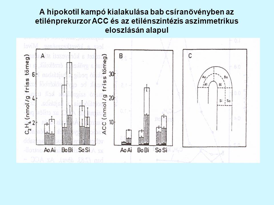 A hipokotil kampó kialakulása bab csíranövényben az etilénprekurzor ACC és az etilénszintézis aszimmetrikus eloszlásán alapul
