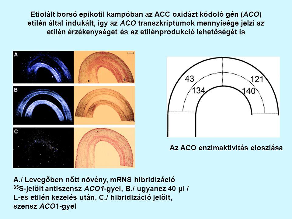Etiolált borsó epikotil kampóban az ACC oxidázt kódoló gén (ACO) etilén által indukált, így az ACO transzkriptumok mennyisége jelzi az etilén érzékenységet és az etilénprodukció lehetőségét is A./ Levegőben nőtt növény, mRNS hibridizáció 35 S-jelölt antiszensz ACO1-gyel, B./ ugyanez 40 μl / L-es etilén kezelés után, C./ hibridizáció jelölt, szensz ACO1-gyel Az ACO enzimaktivitás eloszlása