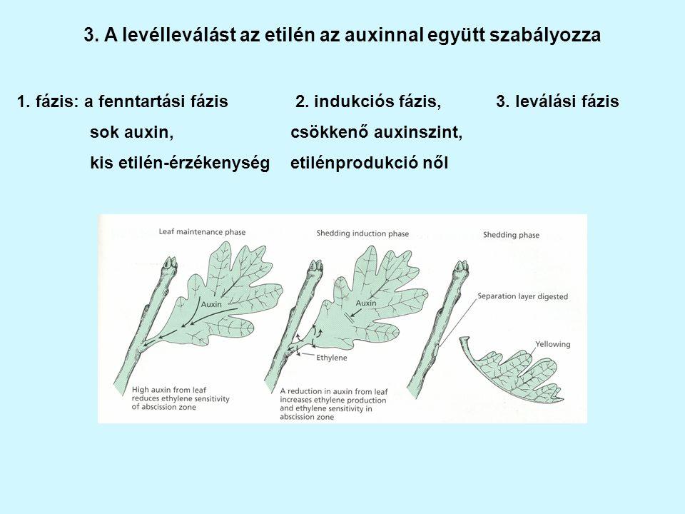 3.A levélleválást az etilén az auxinnal együtt szabályozza 1.