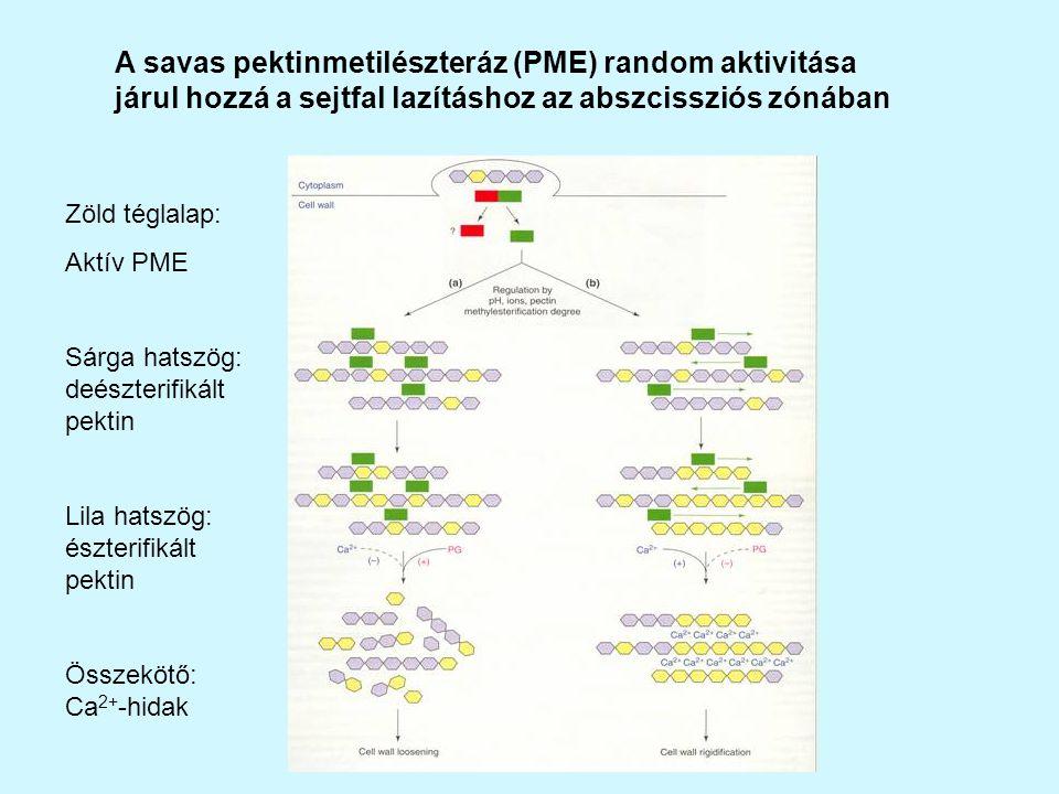 A savas pektinmetilészteráz (PME) random aktivitása járul hozzá a sejtfal lazításhoz az abszcissziós zónában Zöld téglalap: Aktív PME Sárga hatszög: deészterifikált pektin Lila hatszög: észterifikált pektin Összekötő: Ca 2+ -hidak
