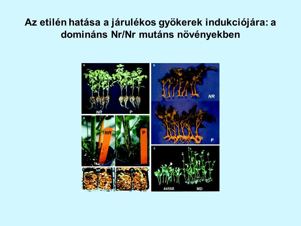 Az etilén hatása a járulékos gyökerek indukciójára: a domináns Nr/Nr mutáns növényekben