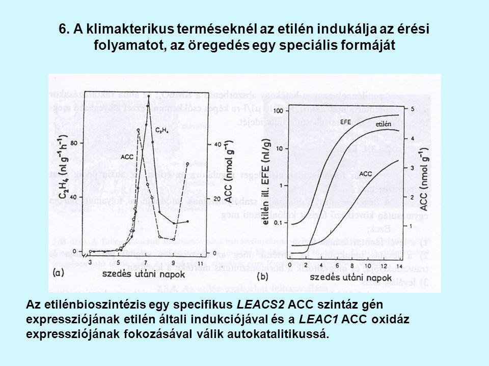 6. A klimakterikus terméseknél az etilén indukálja az érési folyamatot, az öregedés egy speciális formáját Az etilénbioszintézis egy specifikus LEACS2
