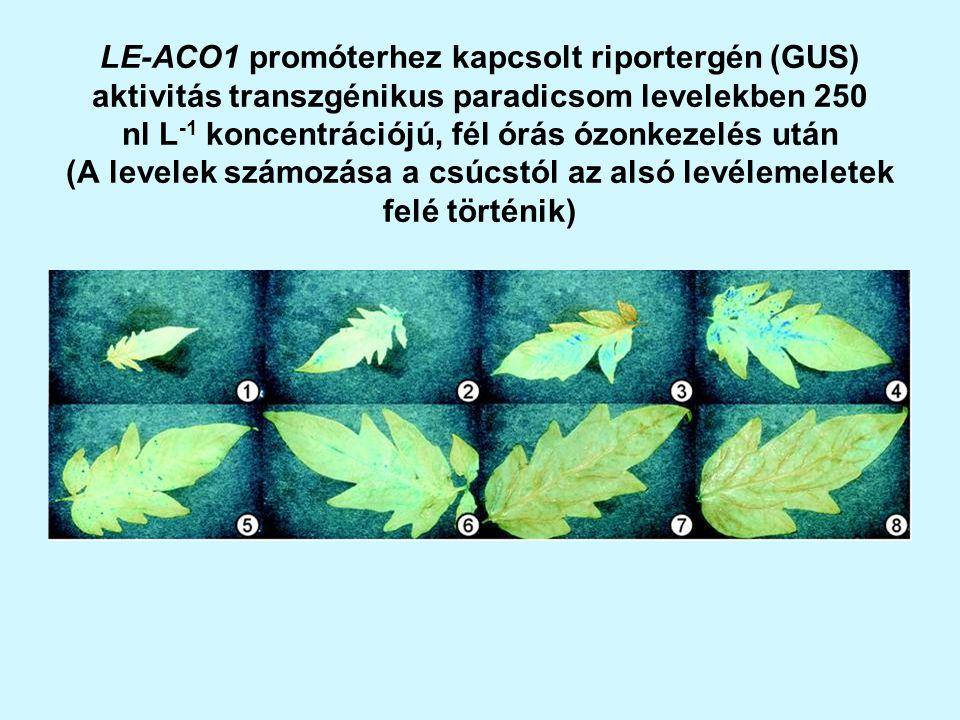 LE-ACO1 promóterhez kapcsolt riportergén (GUS) aktivitás transzgénikus paradicsom levelekben 250 nl L -1 koncentrációjú, fél órás ózonkezelés után (A levelek számozása a csúcstól az alsó levélemeletek felé történik)