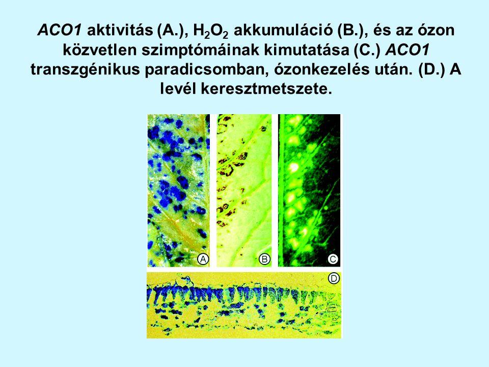 ACO1 aktivitás (A.), H 2 O 2 akkumuláció (B.), és az ózon közvetlen szimptómáinak kimutatása (C.) ACO1 transzgénikus paradicsomban, ózonkezelés után.