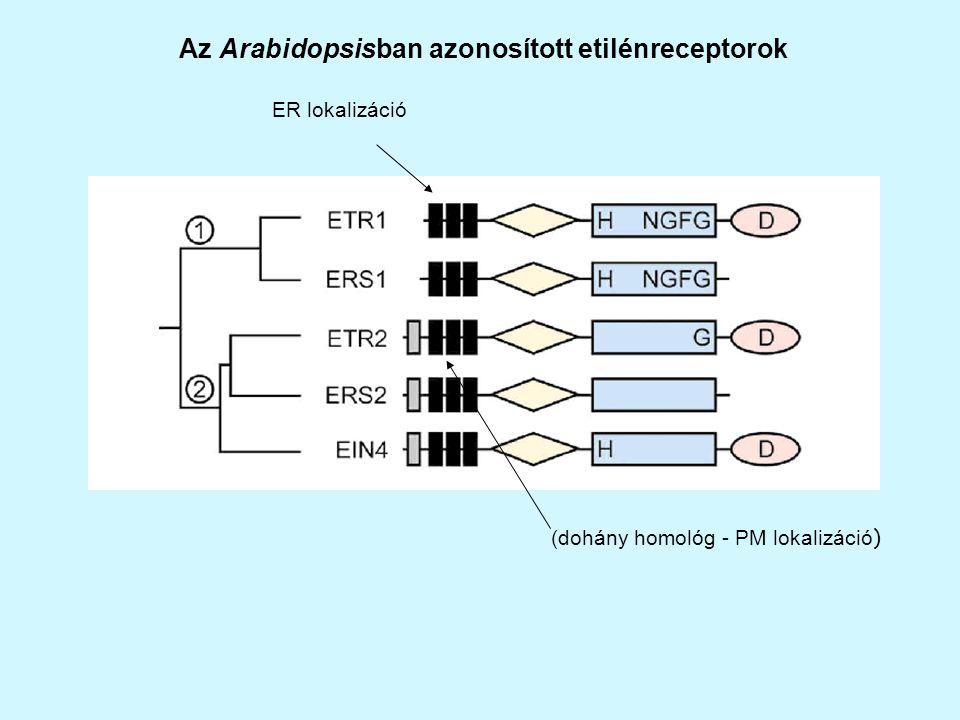 ER lokalizáció (dohány homológ - PM lokalizáció ) Az Arabidopsisban azonosított etilénreceptorok