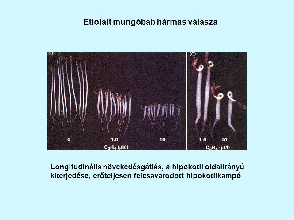 Etiolált mungóbab hármas válasza Longitudinális növekedésgátlás, a hipokotil oldalirányú kiterjedése, erőteljesen felcsavarodott hipokotilkampó