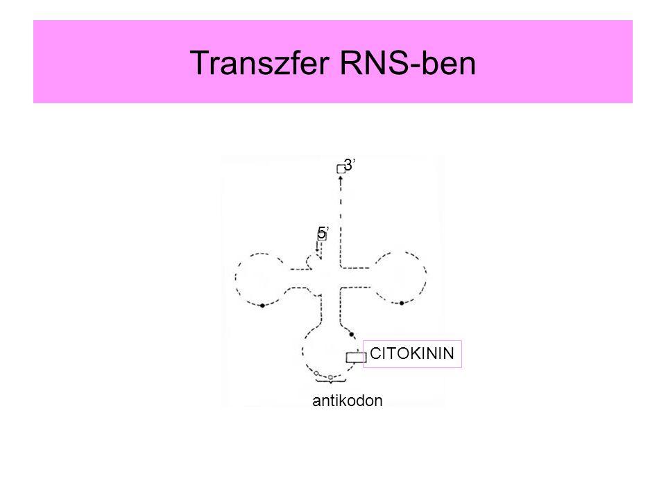 Transzfer RNS-ben antikodon CITOKININ 3' 5'