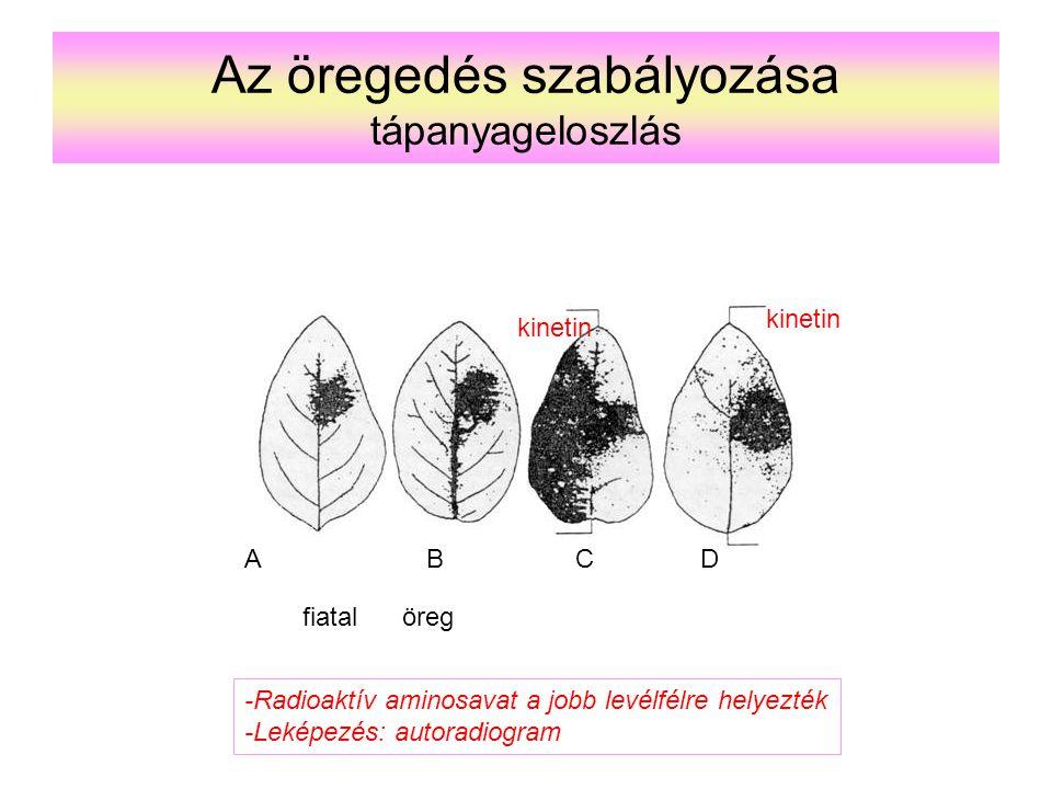 Az öregedés szabályozása tápanyageloszlás ABCD kinetin fiatalöreg -Radioaktív aminosavat a jobb levélfélre helyezték -Leképezés: autoradiogram