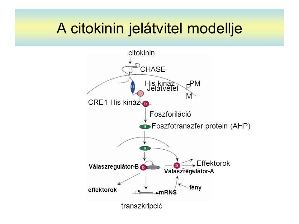 A citokinin jelátvitel modellje citokinin CHASE His kináz PMPM PM Jelátvétel Foszforiláció Foszfotranszfer protein (AHP) Effektorok Válaszregulátor-A