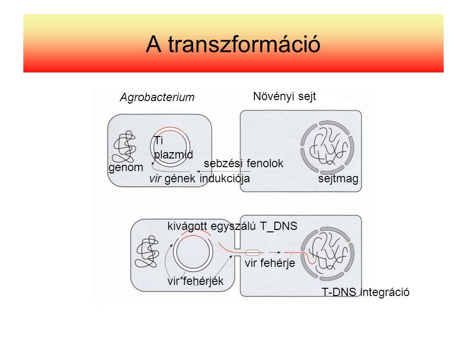 A transzformáció Agrobacterium Növényi sejt sebzési fenolok Ti plazmid vir gének indukciója kivágott egyszálú T_DNS vir fehérje vir fehérjék T-DNS int
