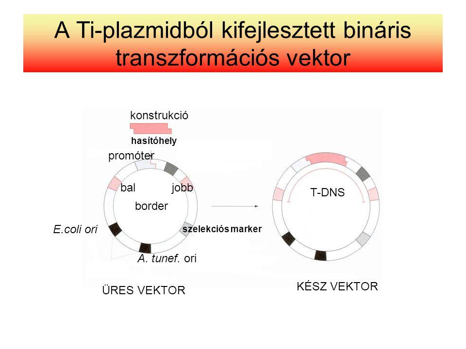 A Ti-plazmidból kifejlesztett bináris transzformációs vektor konstrukció hasítóhely promóter baljobb border szelekciós marker T-DNS KÉSZ VEKTOR ÜRES V