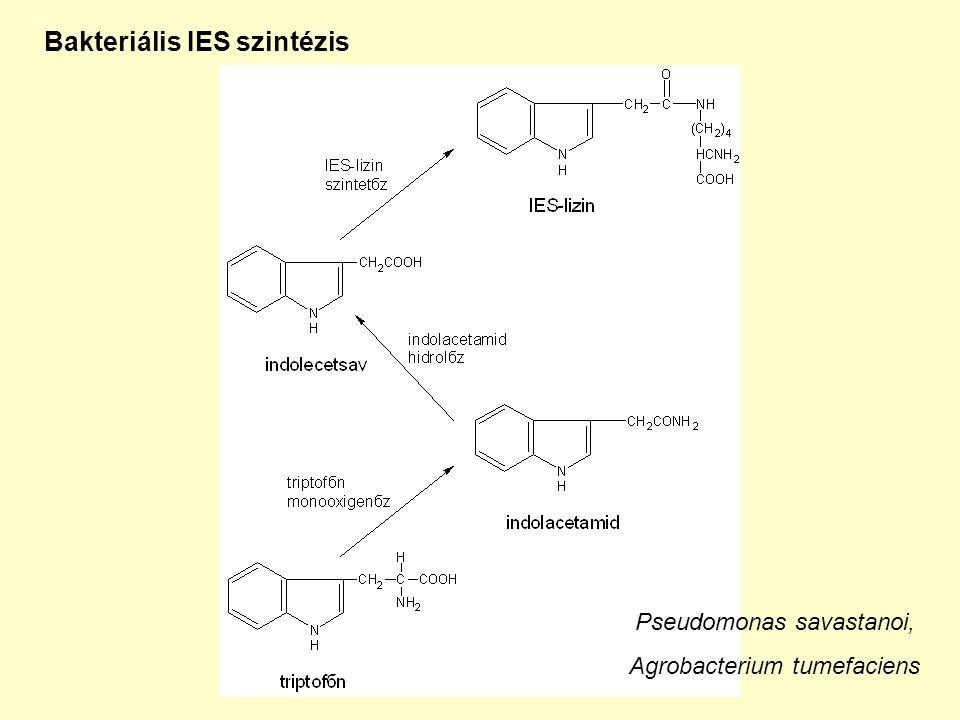 Bakteriális IES szintézis Pseudomonas savastanoi, Agrobacterium tumefaciens