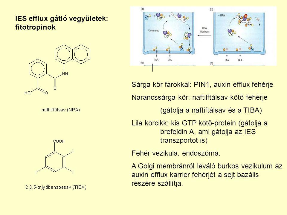 Sárga kör farokkal: PIN1, auxin efflux fehérje Narancssárga kör: naftilftálsav-kötő fehérje (gátolja a naftiftálsav és a TIBA) Lila körcikk: kis GTP kötő-protein (gátolja a brefeldin A, ami gátolja az IES transzportot is) Fehér vezikula: endoszóma.