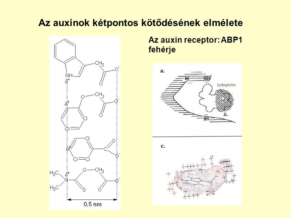 Az auxinok kétpontos kötődésének elmélete Az auxin receptor: ABP1 fehérje