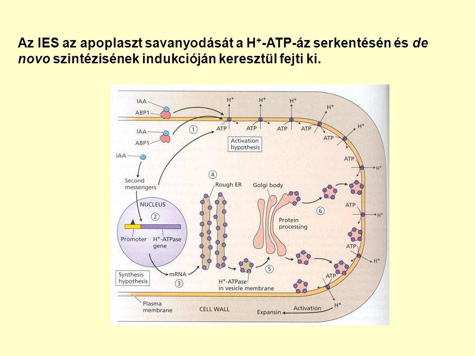 Az IES az apoplaszt savanyodását a H + -ATP-áz serkentésén és de novo szintézisének indukcióján keresztül fejti ki.