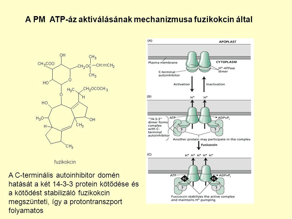 A PM ATP-áz aktiválásának mechanizmusa fuzikokcin által A C-terminális autoinhibitor domén hatását a két 14-3-3 protein kötődése és a kötődést stabilizáló fuzikokcin megszünteti, így a protontranszport folyamatos