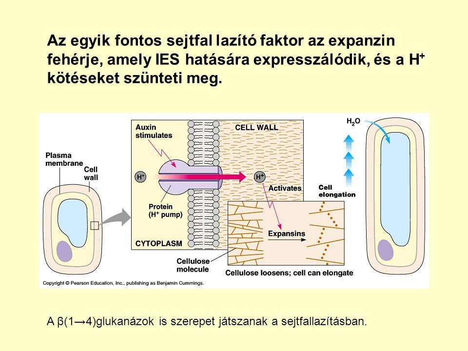 Az egyik fontos sejtfal lazító faktor az expanzin fehérje, amely IES hatására expresszálódik, és a H + kötéseket szünteti meg.