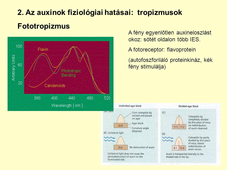 2. Az auxinok fiziológiai hatásai: tropizmusok Fototropizmus A fény egyenlőtlen auxineloszlást okoz: sötét oldalon több IES. A fotoreceptor: flavoprot