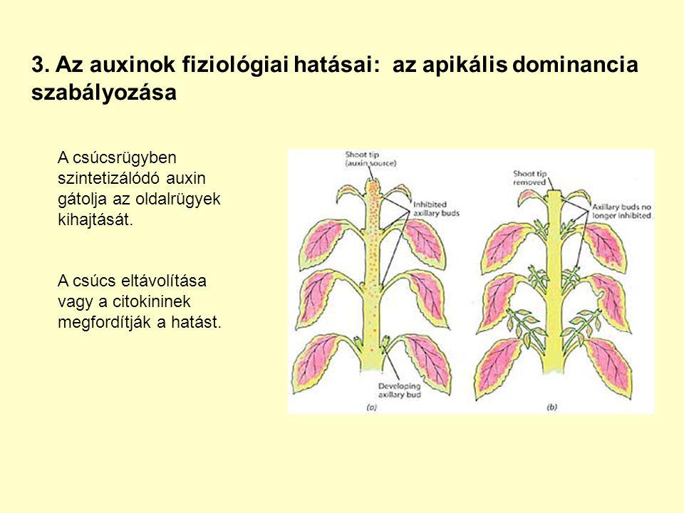 3. Az auxinok fiziológiai hatásai: az apikális dominancia szabályozása A csúcsrügyben szintetizálódó auxin gátolja az oldalrügyek kihajtását. A csúcs