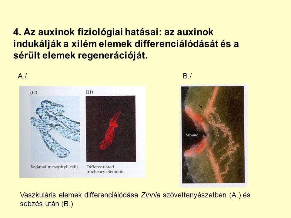 4. Az auxinok fiziológiai hatásai: az auxinok indukálják a xilém elemek differenciálódását és a sérült elemek regenerációját. Vaszkuláris elemek diffe
