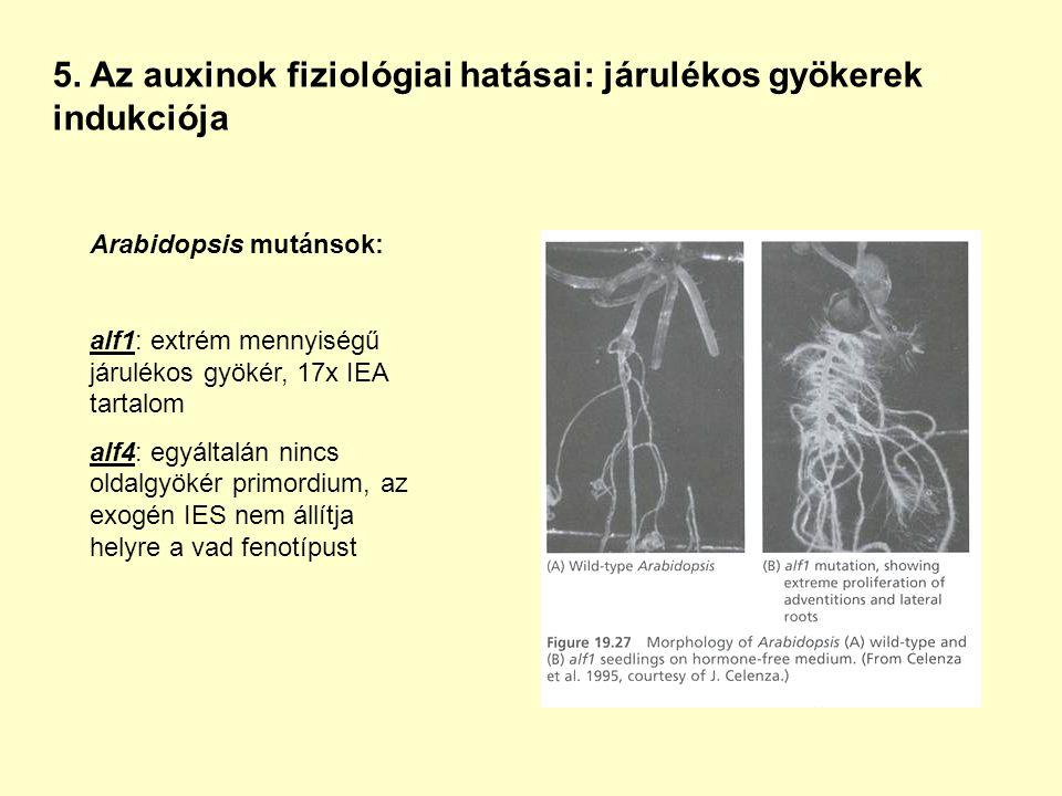 5. Az auxinok fiziológiai hatásai: járulékos gyökerek indukciója Arabidopsis mutánsok: alf1: extrém mennyiségű járulékos gyökér, 17x IEA tartalom alf4
